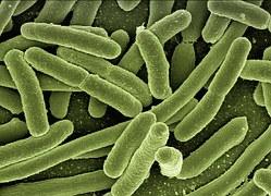escheria coli bacterie